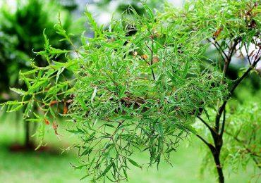 Top 7 tác dụng của cây đinh lăng
