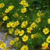 Top 7 tác dụng của hoa cúc vàng