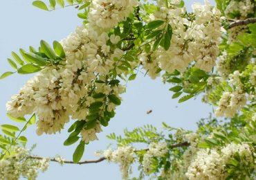 Top 16 tác dụng ít ai biết của hoa hòe