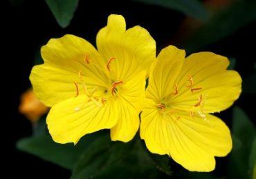 Top 5 tác dụng của hoa anh thảo