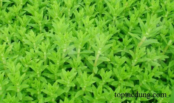 Top 5 tác dụng của cây rau ngò ôm