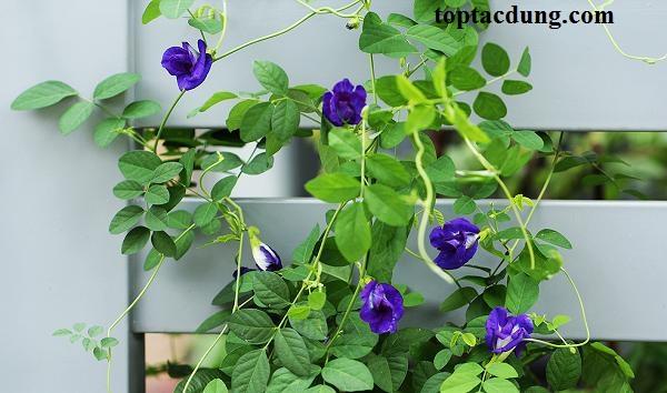Top 7 tác dụng của hoa đậu biếc