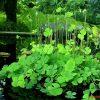 Cây rau bợ là cây gì? Có hoa không? Có tác dụng chữa bệnh gì?
