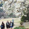 9 cây bóng mát có hoa mau lớn nên trồng trong vườn, phía trước nhà