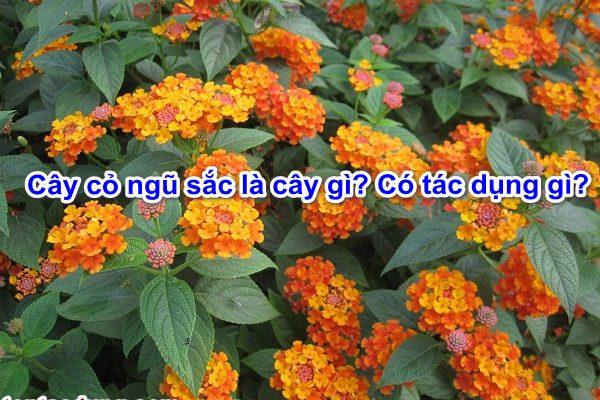 Cây cỏ ngũ sắc (hoa cứt lợn) là cây gì? Có tác dụng gì?