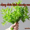 Cây rau om là rau gì? Có tác dụng chữa bệnh gì?