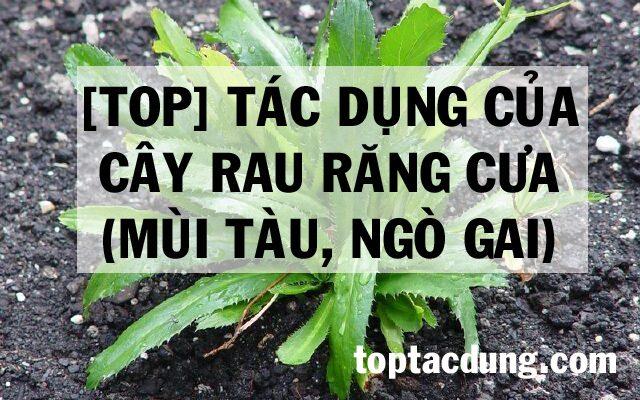 [Top] Tác dụng của cây Rau Răng Cưa (Ngò gai, mùi tàu)