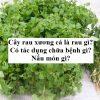 Cây rau xương cá là rau gì? Có tác dụng chữa bệnh gì? Nấu món gì?