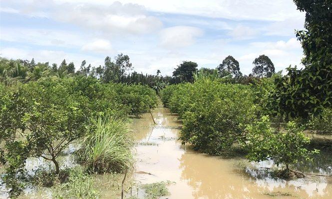 6 Loại cây ăn quả chịu nước chống ngập úng mang lại hiệu quả kinh tế cao