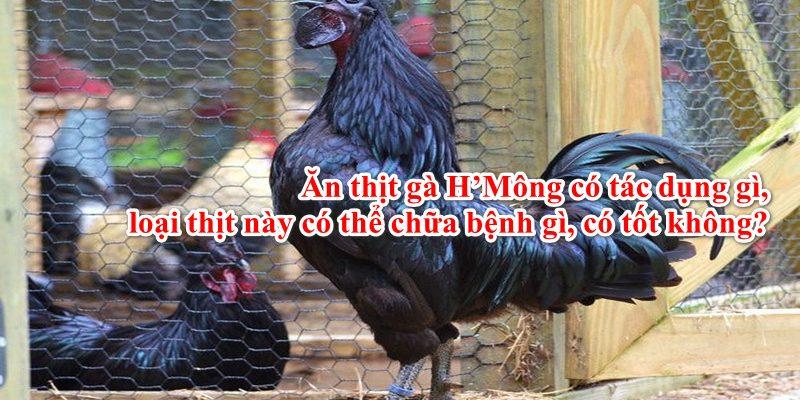 Ăn Thịt Gà H'Mông Có Tác Dụng Gì, Chữa Bệnh Gì, Có Tốt Không?