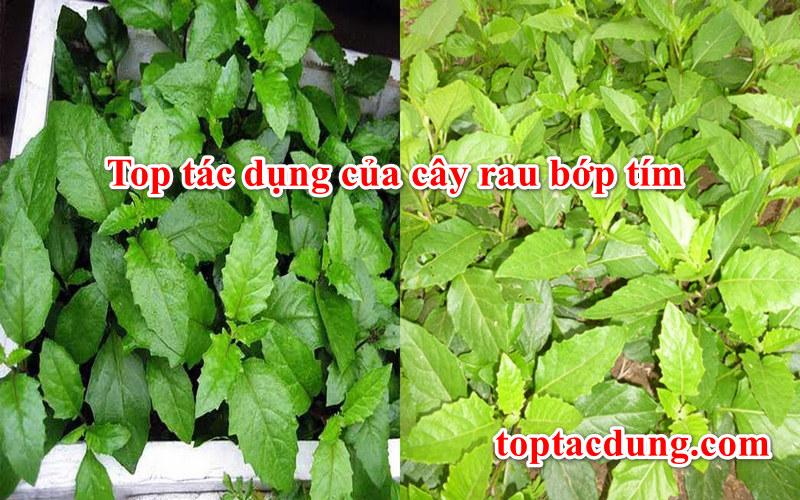Top 7 tác dụng của cây rau bớp tím