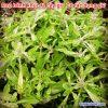 Cây rau bánh khúc là cây gì? Có tác dụng chữa bệnh gì?